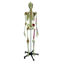 Super-Skelett / Anatomisches Modell