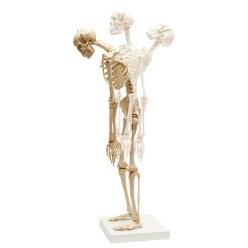Mini-Skelett mit flexibler Wirbelsäule