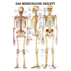 Anatomische Lehrtafel Das menschliche Skelett