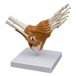 Fuss mit Gelenkbändern / Anatomisches Modell