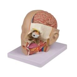 """Erler Zimmer Anatomie-Modell """"Kopf"""""""
